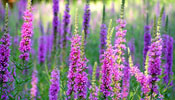 Purple Loostrife