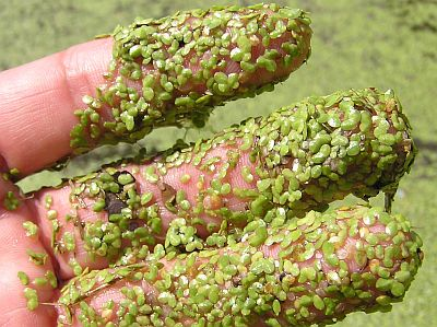 Figure 8: Duckweed is found in swampy areas.(4)