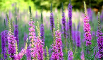 Purple Loosesstrife